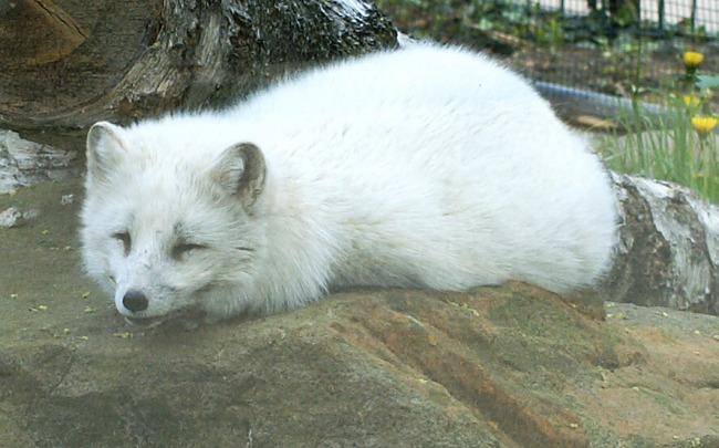 Liška polární (Alopex lagopus) v létě a v zimě 7ae3806c34